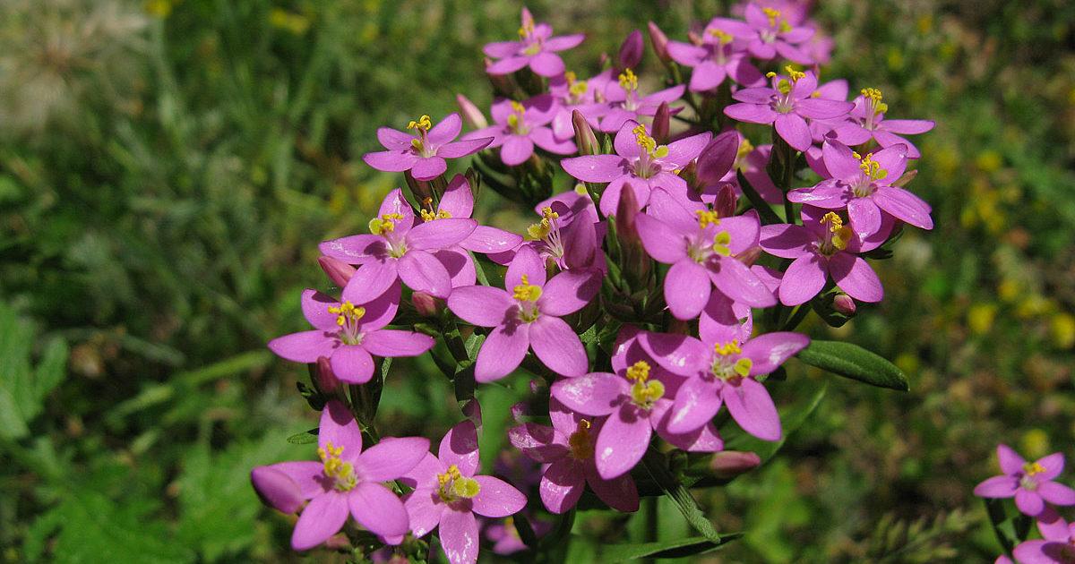 Золототысячник - лечебные свойства и противопоказания растения