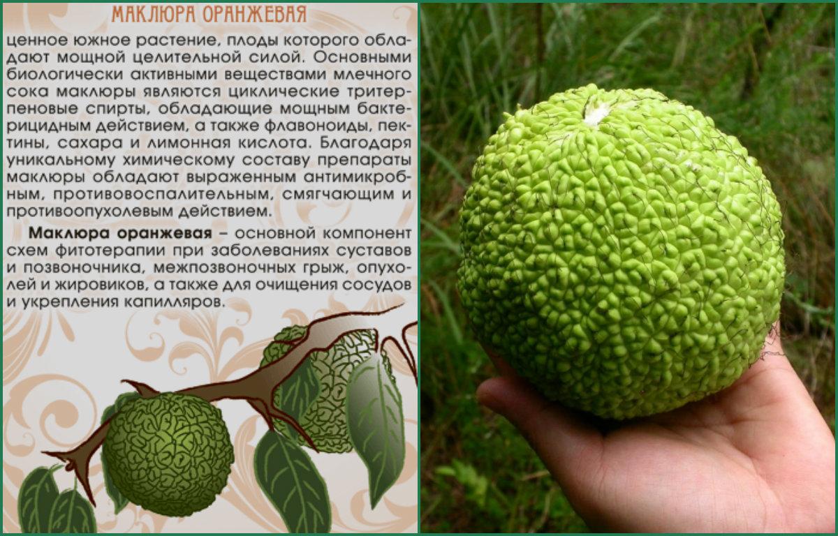 Польза плодов маклюры