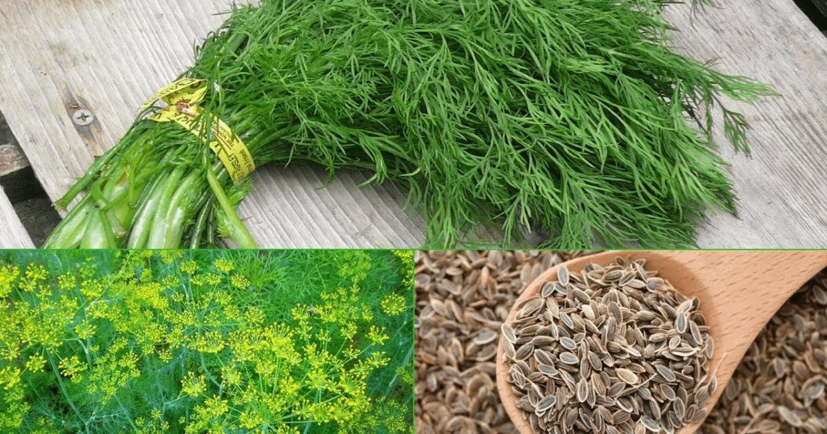 Семена укропа: польза или вред для здоровья