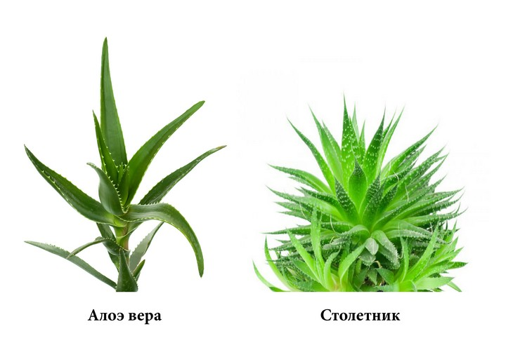 Виды лечебного растения