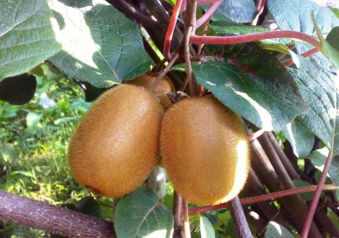 Польза плодов