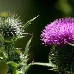 Колючие цветки