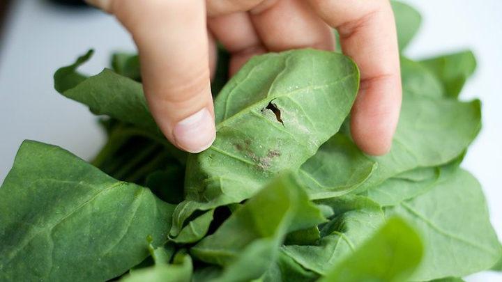 Как правильно выбрать и хранить листья шпината?