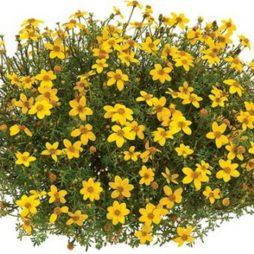 Ярко желтые цветы
