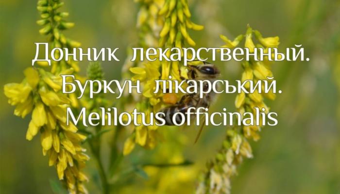 Трава донника