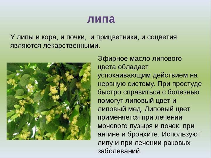 Дерево доктор