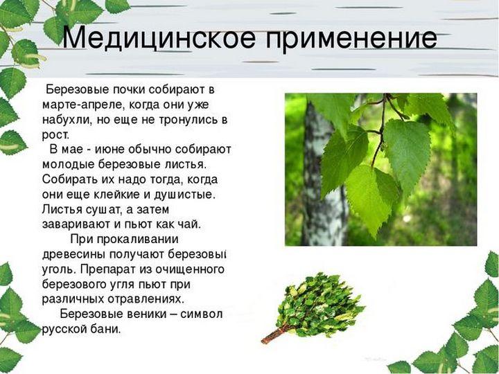 Как лечиться листьями