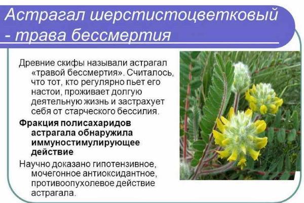 Астрагал - трава бессмертия